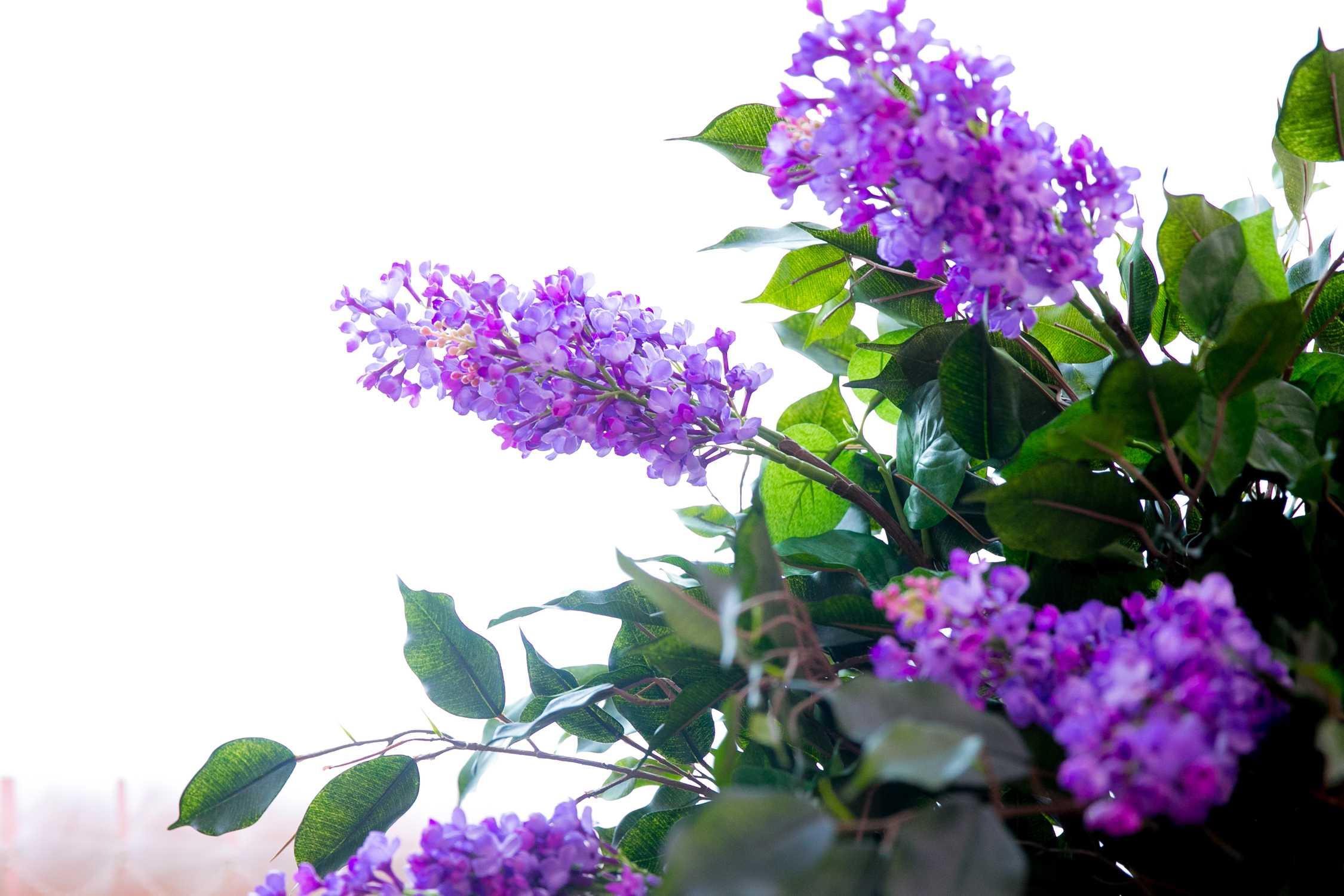 Вы можете быть уверенны, что ни один человек не останется равнодушным к постоянно распускающимся соцветиям.