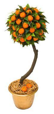 Другое Дерево «Капри» напрокат | Аренда и прокат – Мытищи